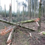 Knækkede træer i Rønhøj Plantage
